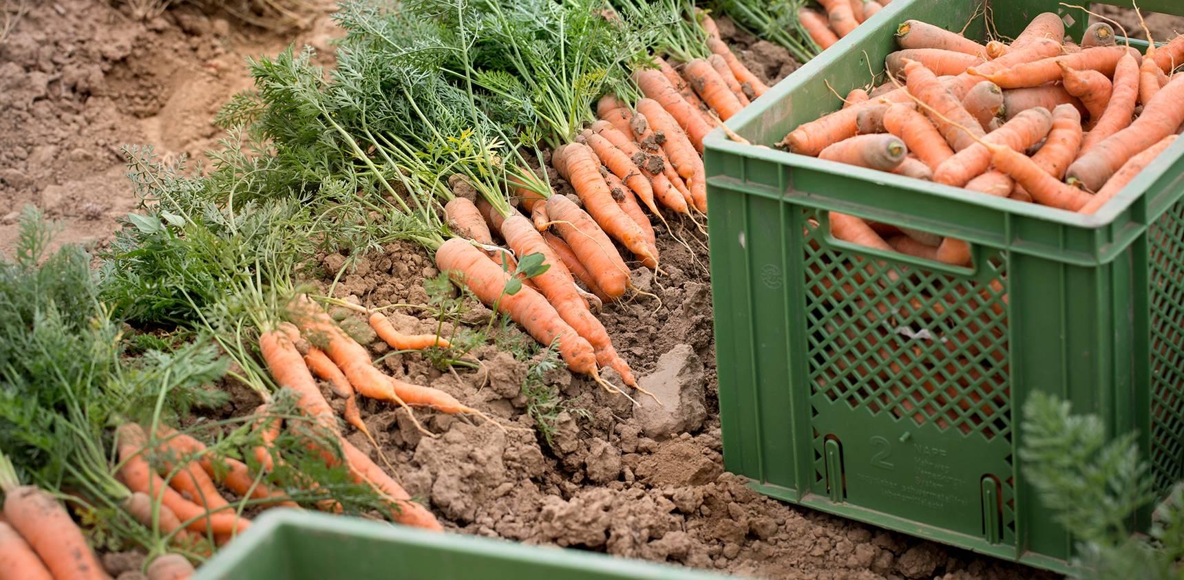 Demeter Felderzeugnisse Impression Karotten