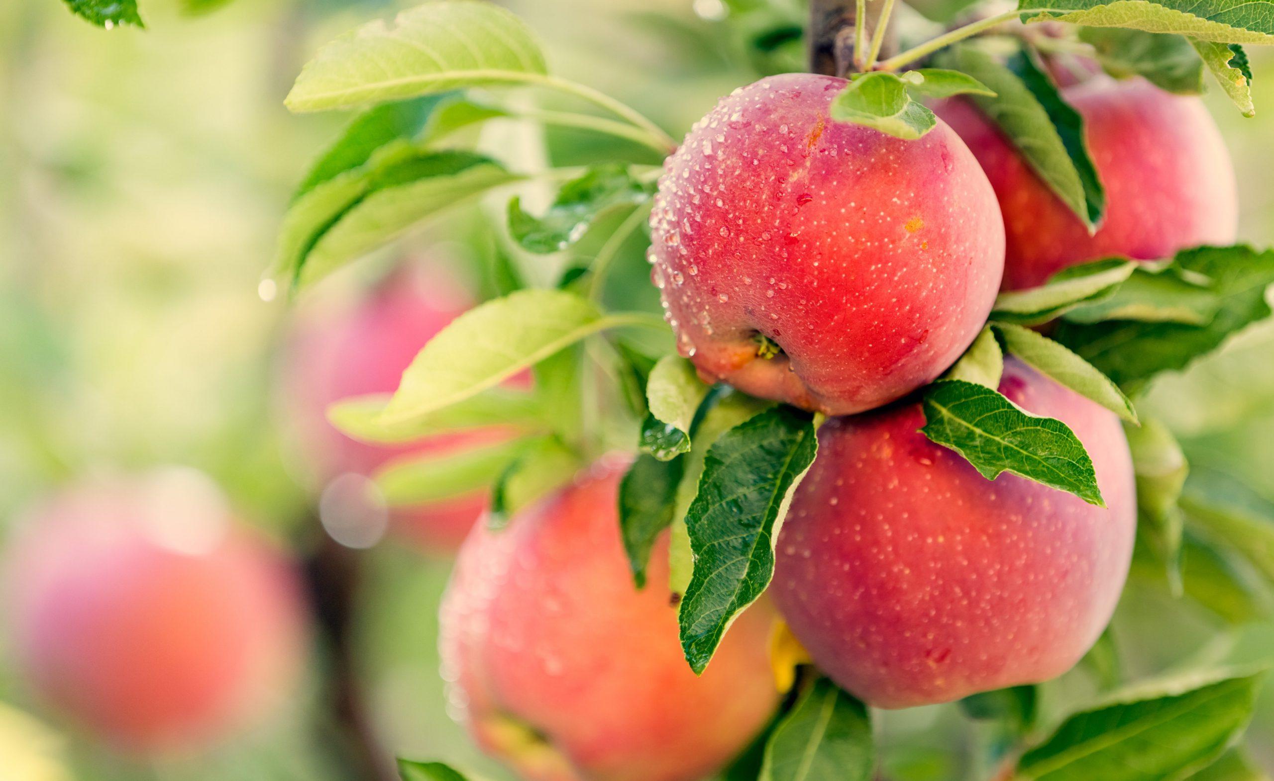 Äpfel sind gesund - jetzt online bestellen bei Lunemann´s® leckerer Lieferservice