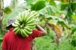Lunemann´s® leckerer Lieferservice - Bananenernte