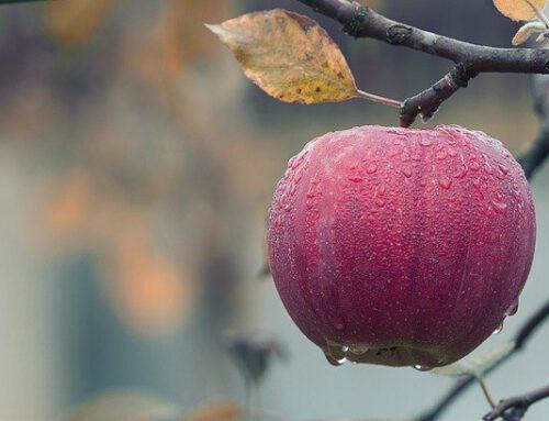 Apfel – Genuss oder Qual?
